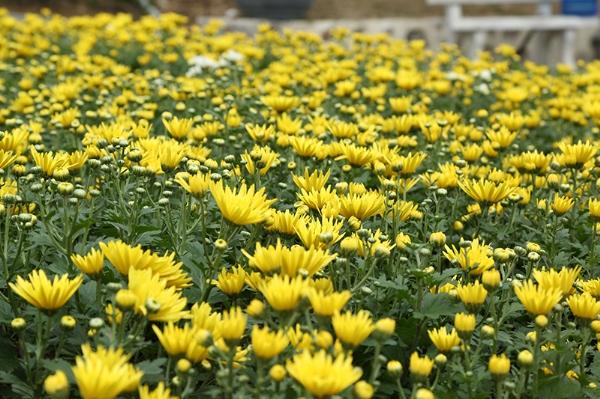 Những bông cúc vàng tại vườn sắc xuân.