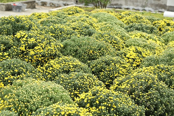 Vườn sắc xuân được tô điểm bởi những khóm cúc vàng.