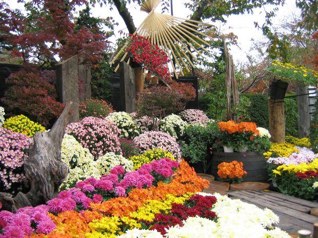 Những bông hoa cúc nhiều màu sắc góp phần vào lễ hội hoa cúc chùa Ba Vàng.
