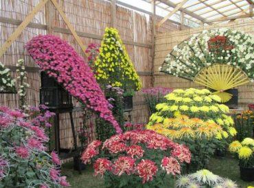 Những đóa hoa cúc sẽ góp mặt tại lễ hội hoa cúc chùa Ba Vàng.