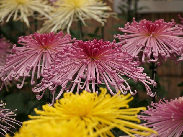 Bông hoa cúc đầy ấn tượng.