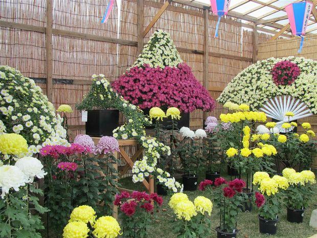 Những loài hoa cúc sẽ tô điểm cho lễ hội hoa cúc chùa Ba Vàng.
