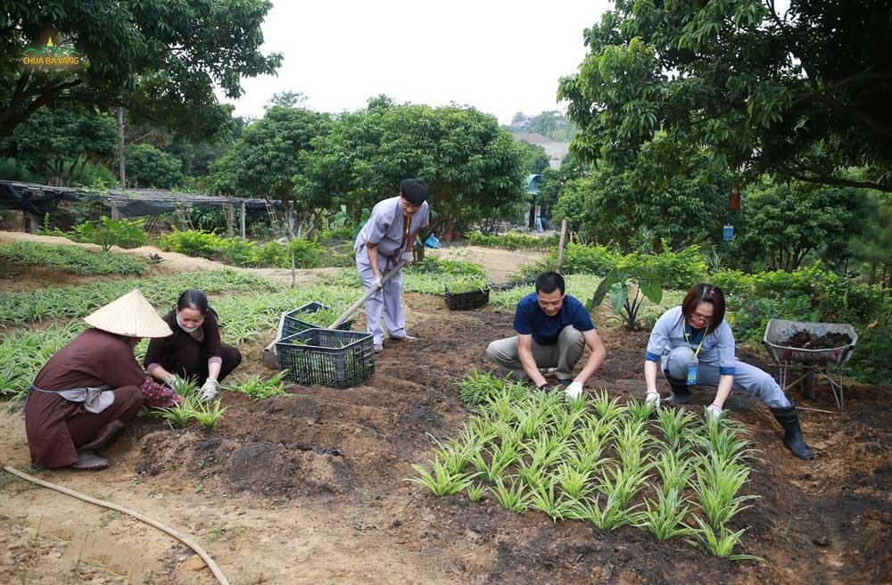 Các cô chú Phật tử làm việc tại vườn Bạch Ngọc chùa Ba Vàng