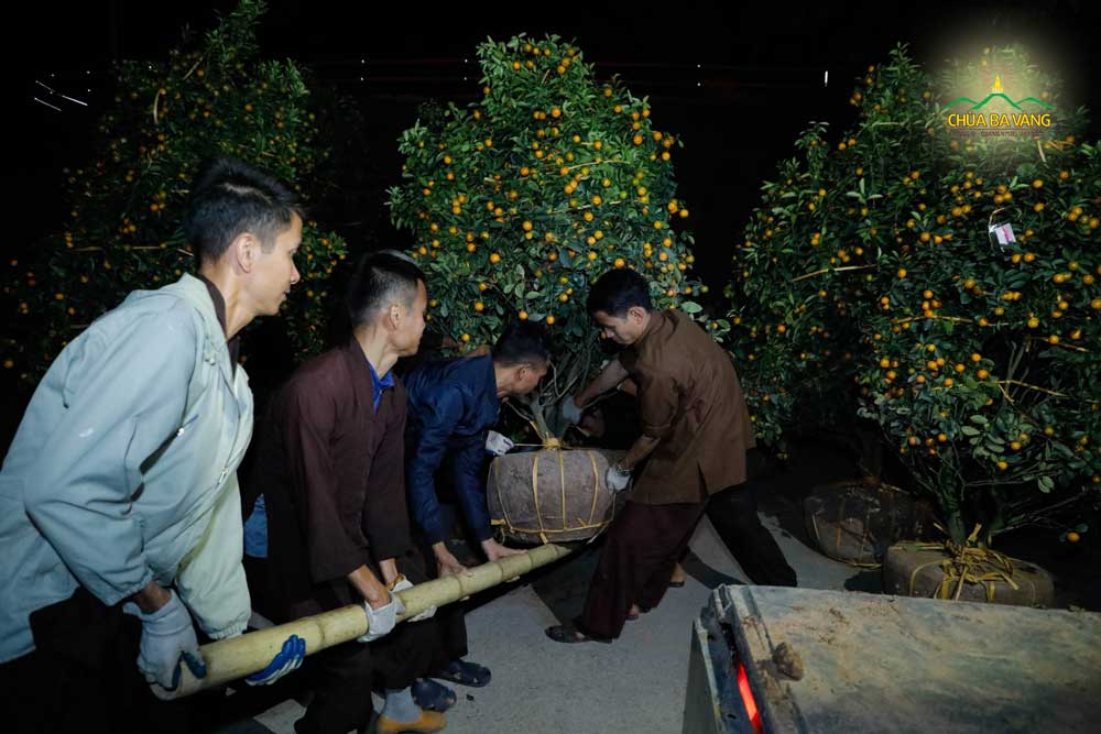 Phật tử vận chuyển cây quất trong đêm