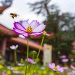 Những chú ong chùa ba vàng và bài học ý nghĩa